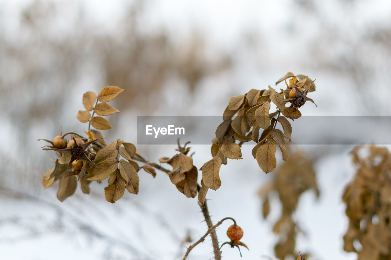 nature, focus on foreground, dried plant, beauty in nature, close-up, plant, day, no people, outdoors, fragility, freshness