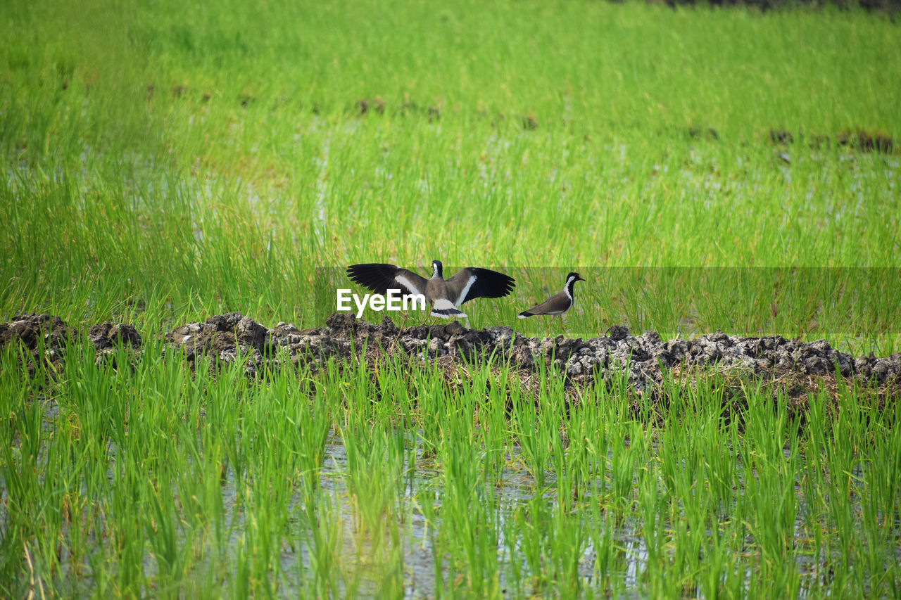 bird, grass, animals in the wild, animal themes, animal wildlife, green color, nature, field, goose, growth, no people, lake, outdoors, beauty in nature, day, perching, water, spread wings