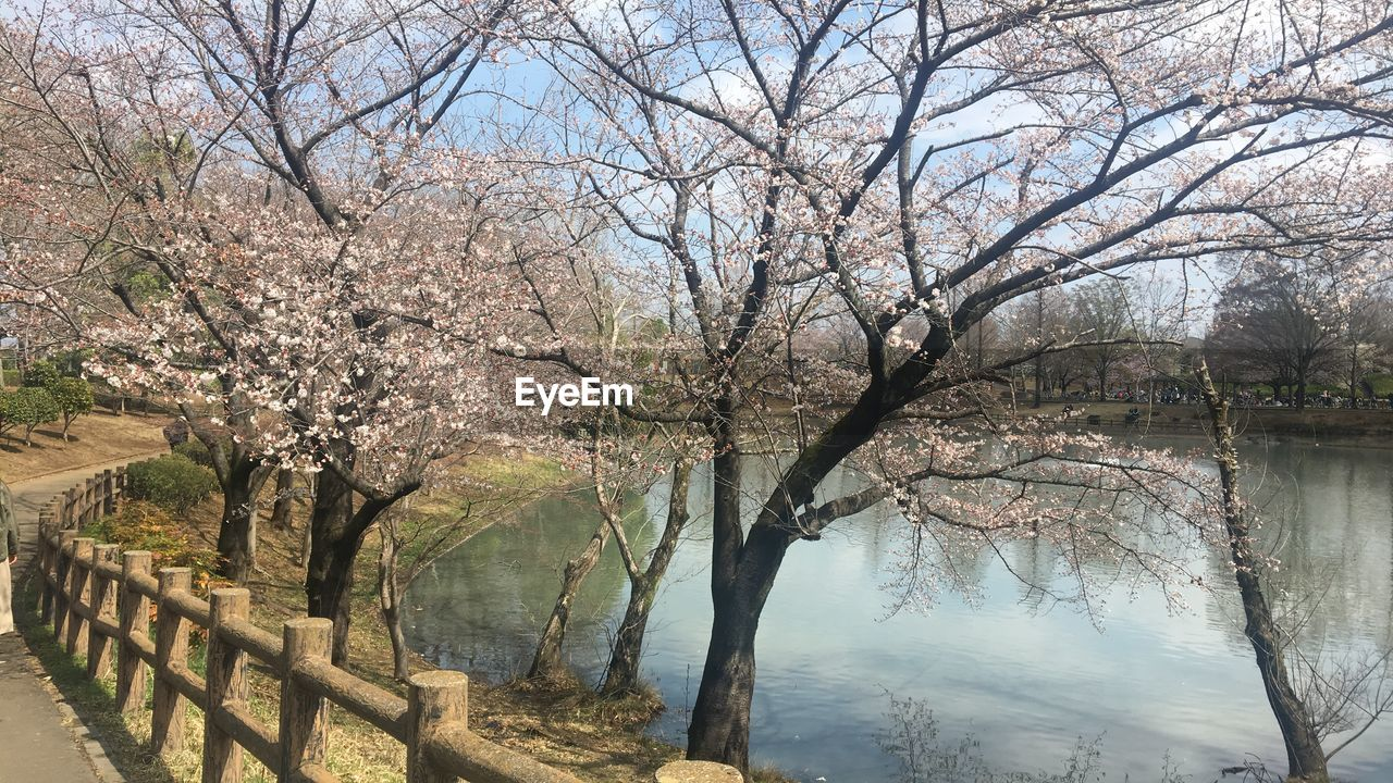 tree, plant, water, beauty in nature, tranquility, nature, day, tranquil scene, no people, branch, scenics - nature, lake, bare tree, growth, sky, outdoors, landscape, non-urban scene, springtime, cherry blossom, cherry tree