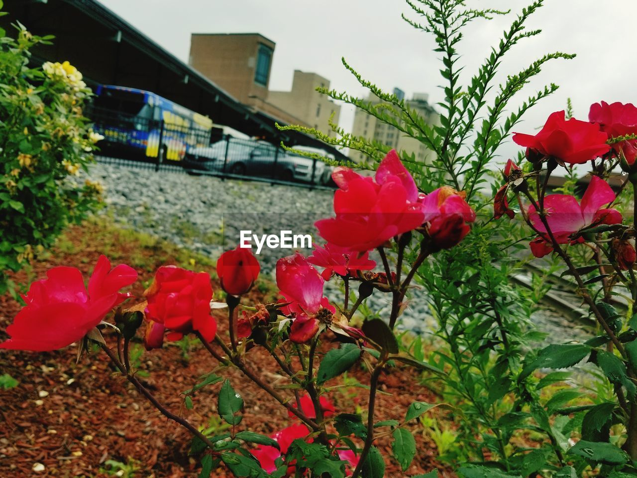 flower, growth, nature, petal, building exterior, architecture, leaf, plant, no people, built structure, beauty in nature, day, outdoors, pink color, fragility, blooming, red, flower head, close-up, freshness, tree, sky
