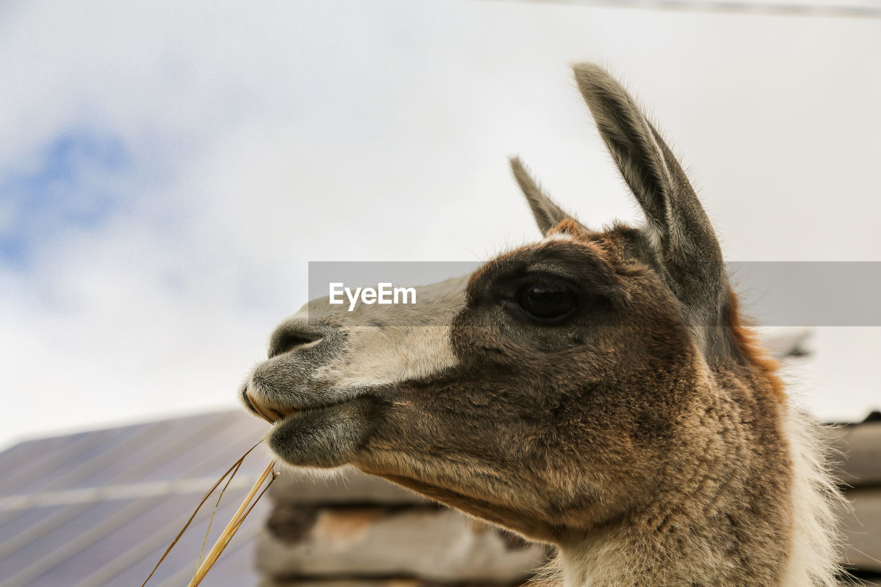 Close-Up Of Llama Against Sky