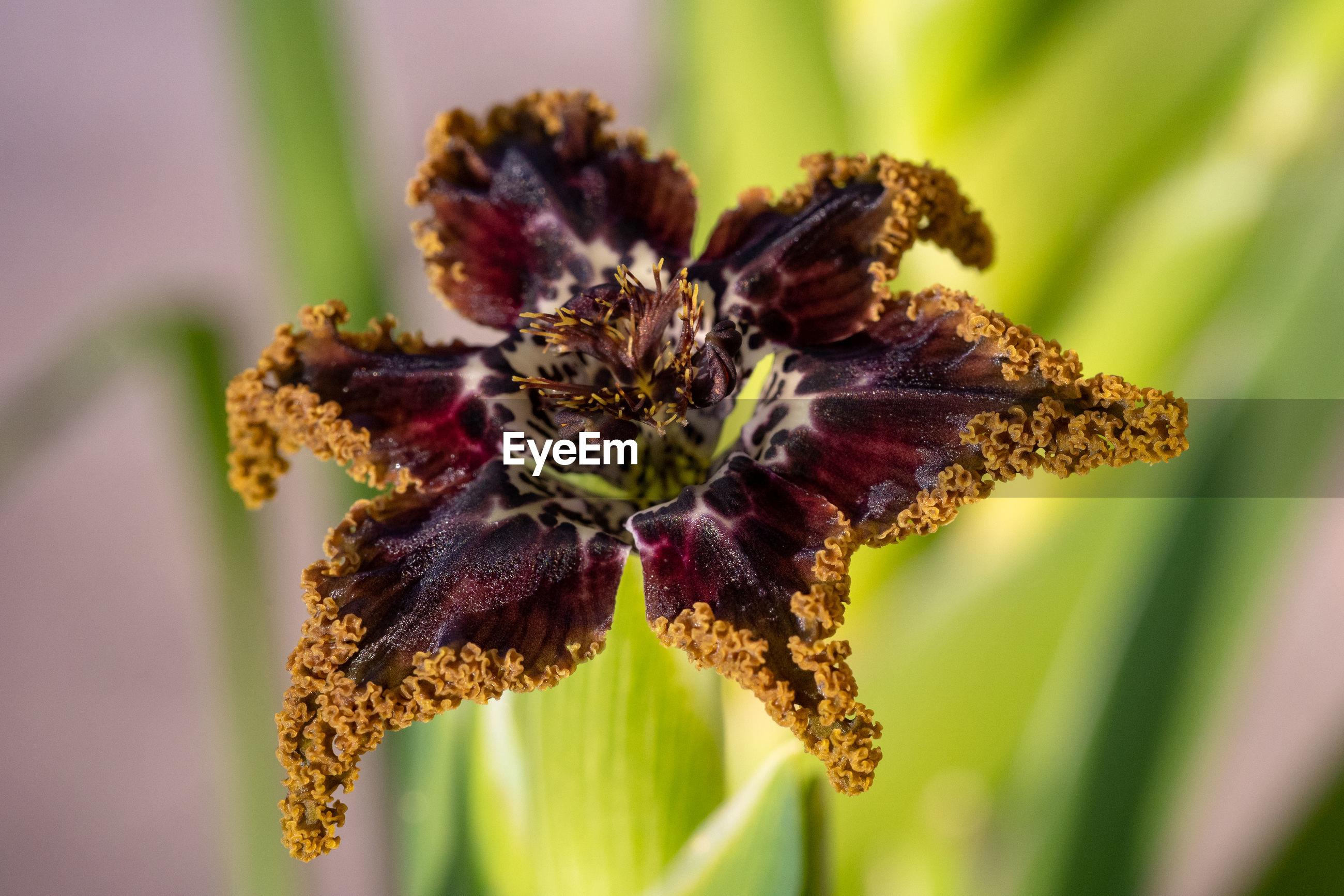 The exotic flower of ferraria crispa, a relative of iris.