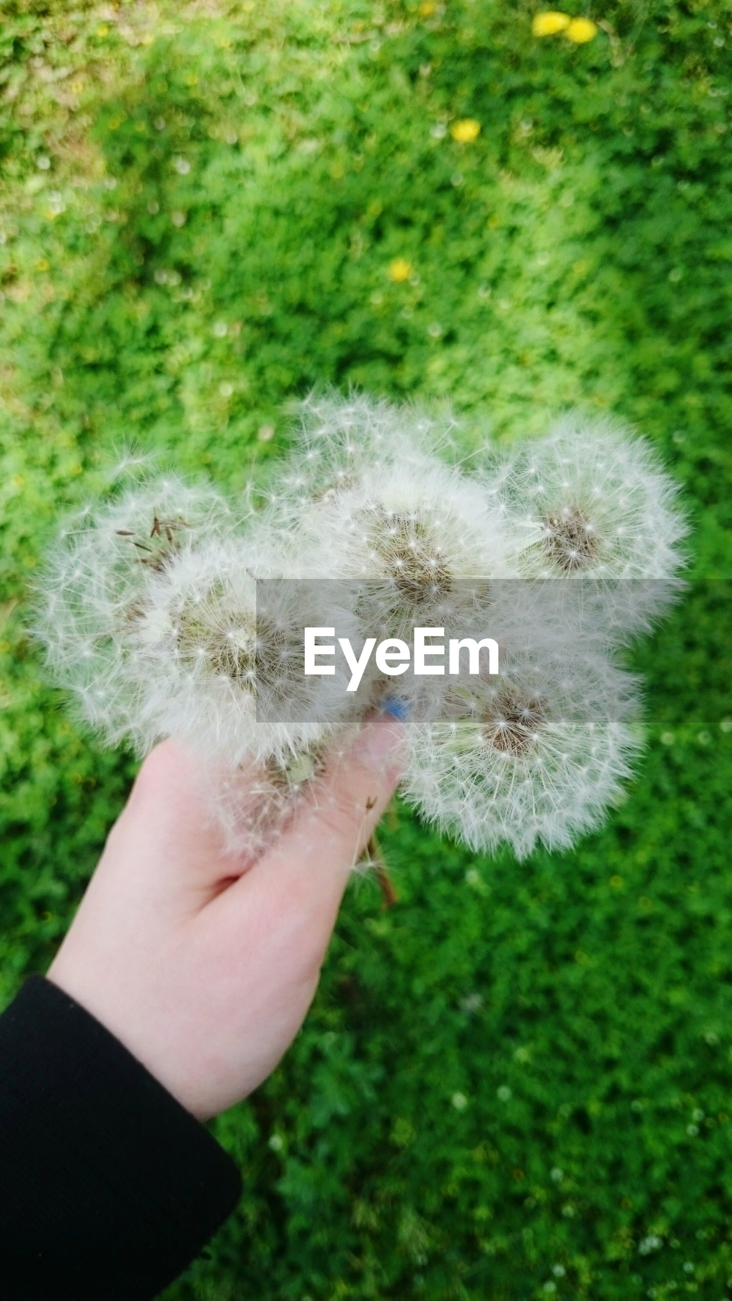 person, holding, dandelion, white color, part of, flower, human finger, cropped, unrecognizable person, close-up, focus on foreground, personal perspective, fragility, white, nature, single flower, flower head
