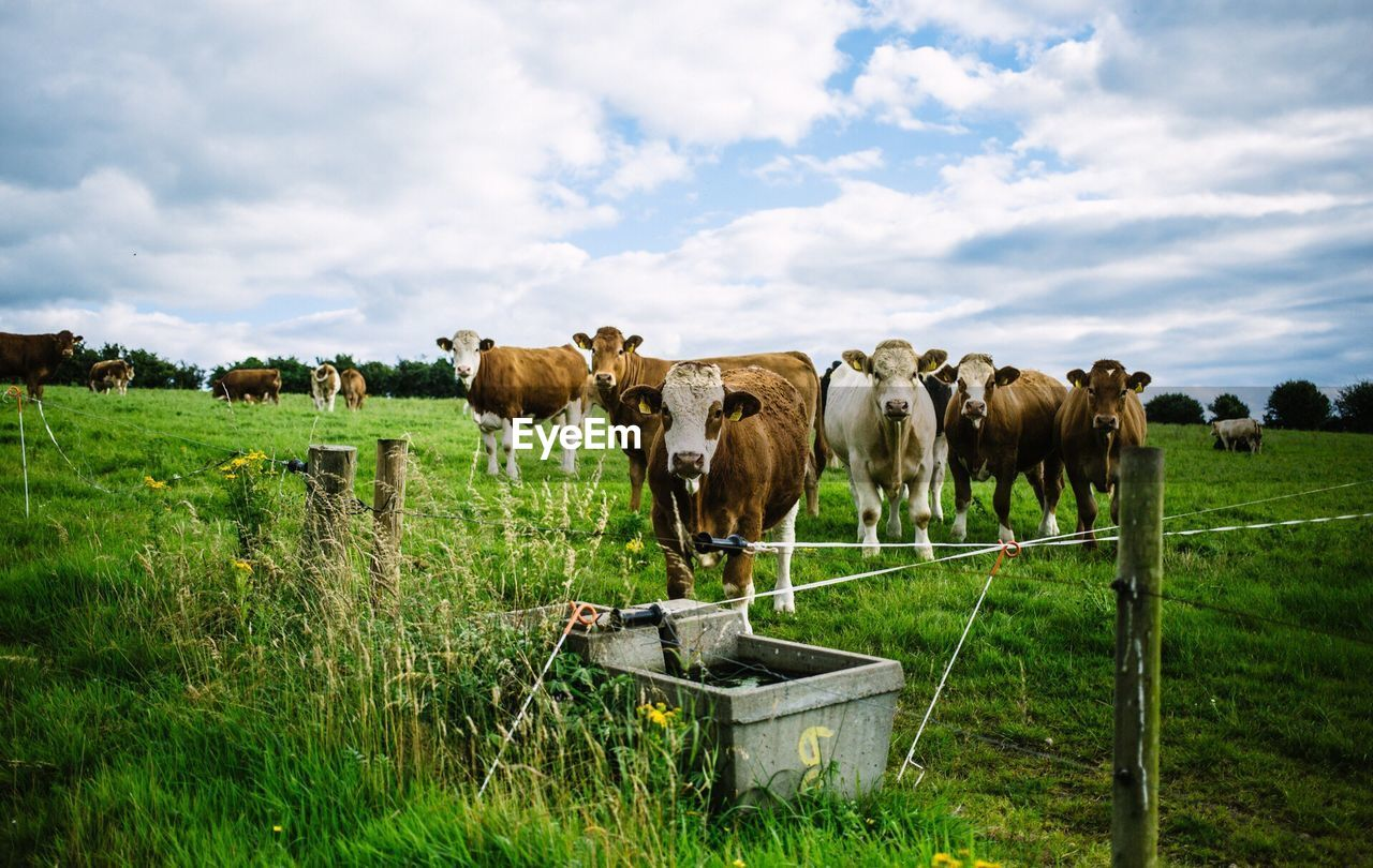 Scenic View Of Cows On Field Looking At Camera