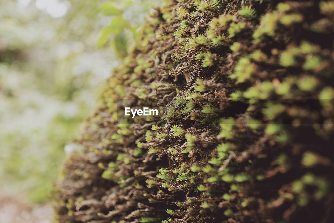 nature, growth, focus on foreground, day, close-up, outdoors, tree trunk, moss, lichen, no people, plant, tree, beauty in nature