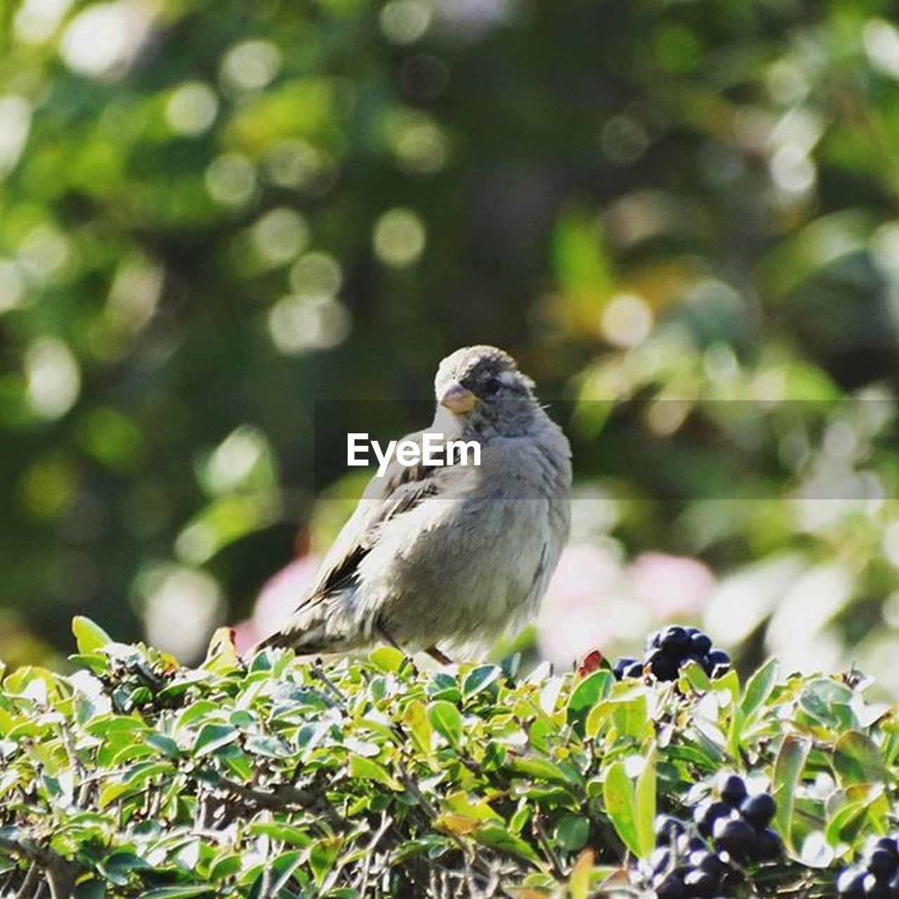 bird, one animal, animals in the wild, animal themes, animal wildlife, day, perching, green color, leaf, outdoors, no people, nature, branch, tree, sunlight, growth, plant, sparrow, close-up, beauty in nature, bird of prey