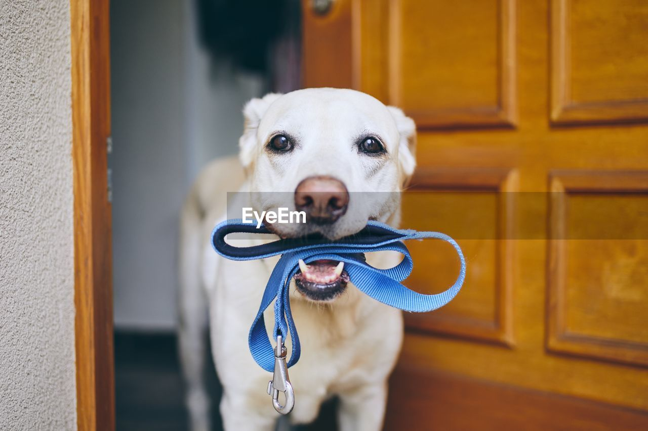 Close-up portrait of dog carrying pet leash in mouth while standing by door