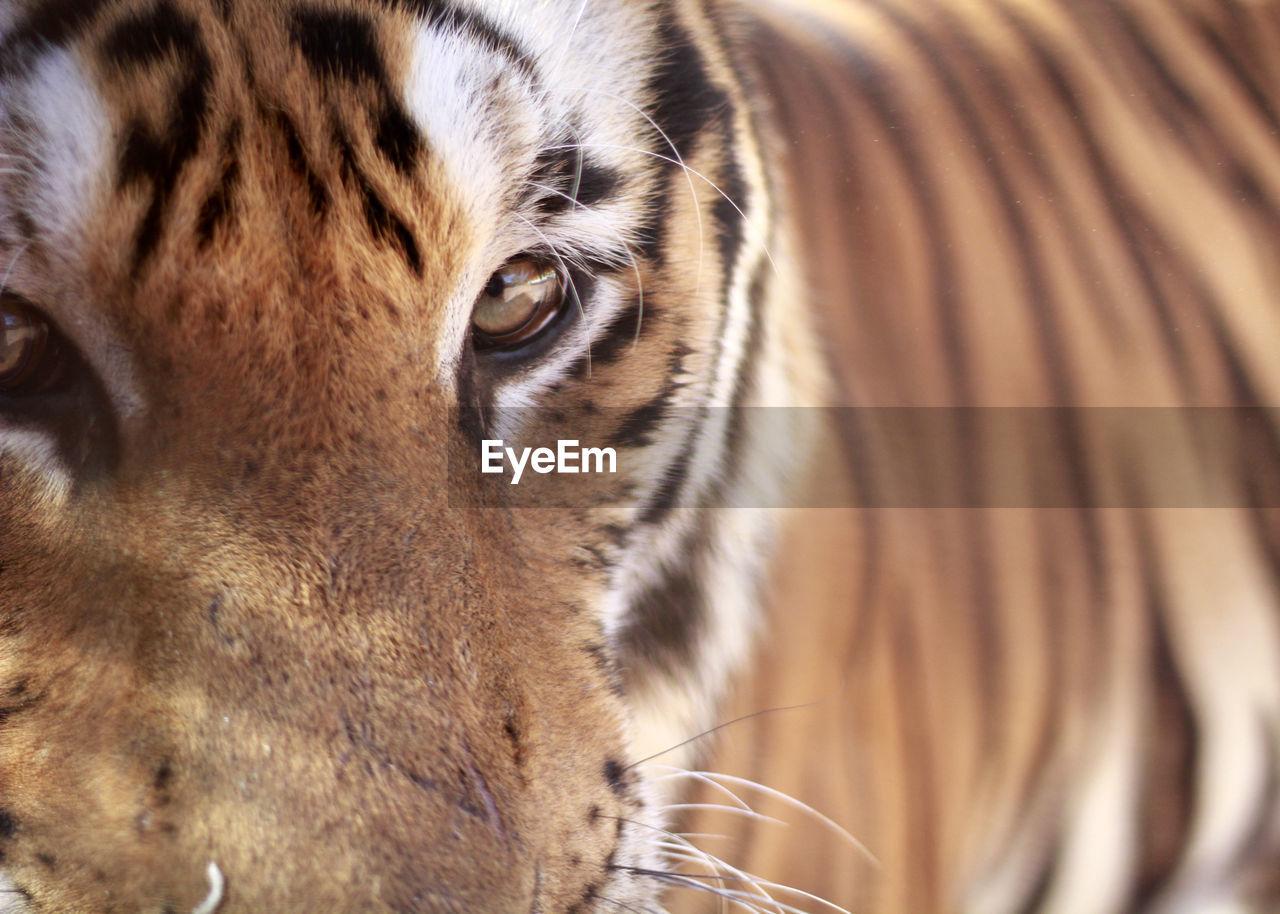 one animal, animal themes, animal, mammal, close-up, feline, cat, domestic animals, animal body part, tiger, pets, animal wildlife, animal head, vertebrate, no people, big cat, domestic, portrait, whisker, animal eye