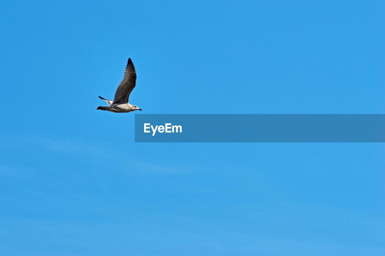 animal wildlife, sky, animals in the wild, bird, blue, animal themes, low angle view, flying, animal, one animal, spread wings, vertebrate, copy space, clear sky, mid-air, no people, day, nature, beauty in nature, outdoors, seagull