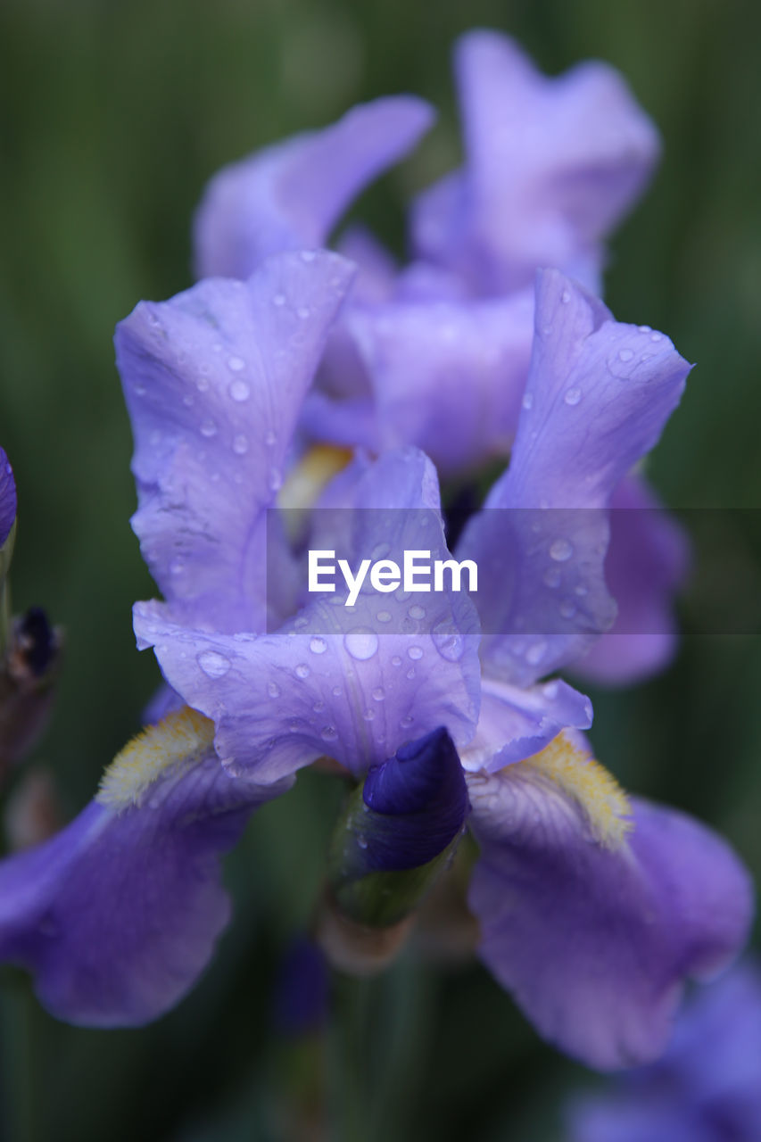 flower, beauty in nature, petal, nature, drop, fragility, wet, freshness, water, purple, flower head, growth, no people, close-up, raindrop, backgrounds, outdoors, plant, purity, day, springtime, blooming