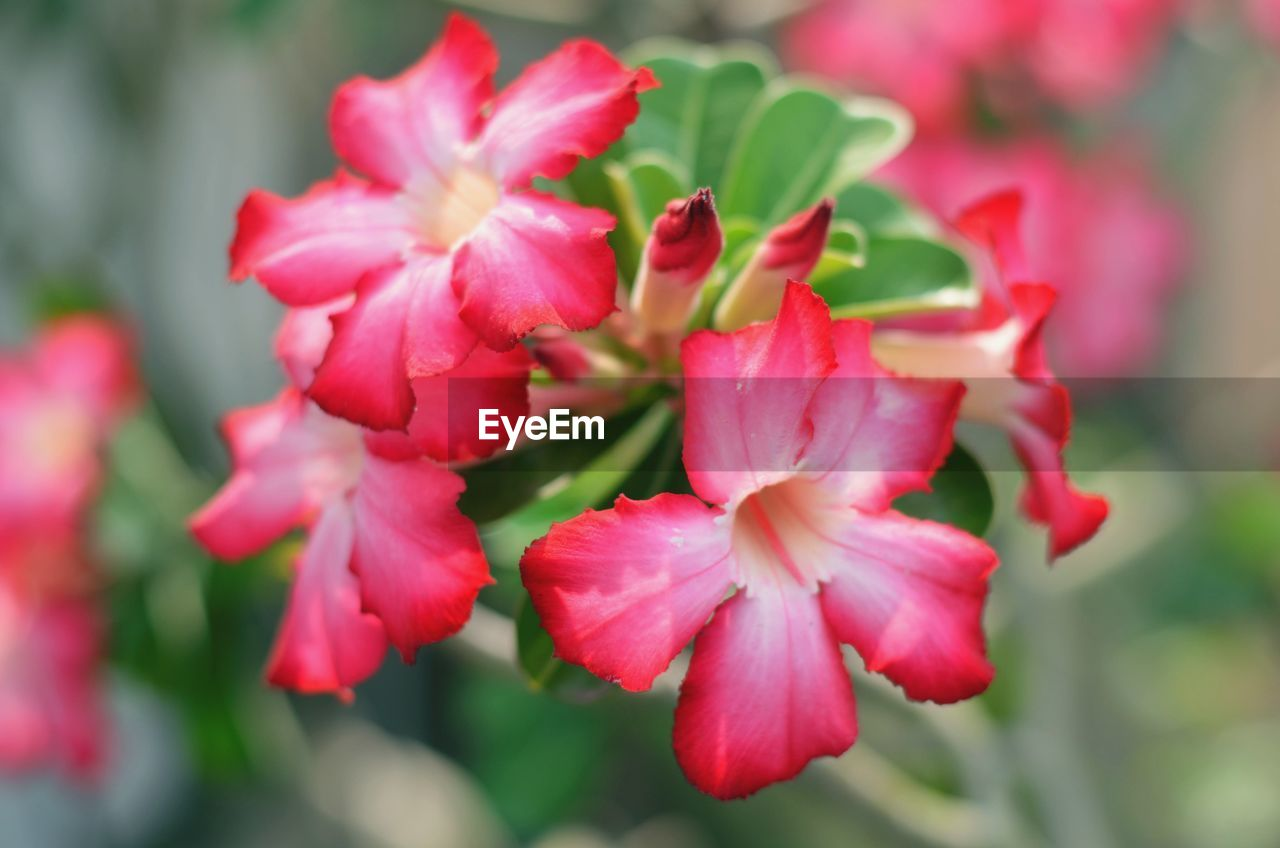 flower, flowering plant, plant, vulnerability, fragility, beauty in nature, petal, growth, freshness, close-up, pink color, inflorescence, flower head, nature, no people, day, focus on foreground, selective focus, red, outdoors
