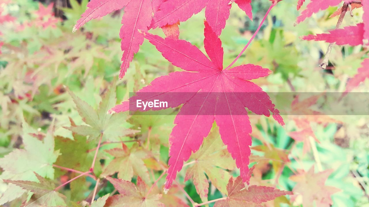 leaf, growth, day, nature, plant, outdoors, no people, beauty in nature, close-up, fragility, maple