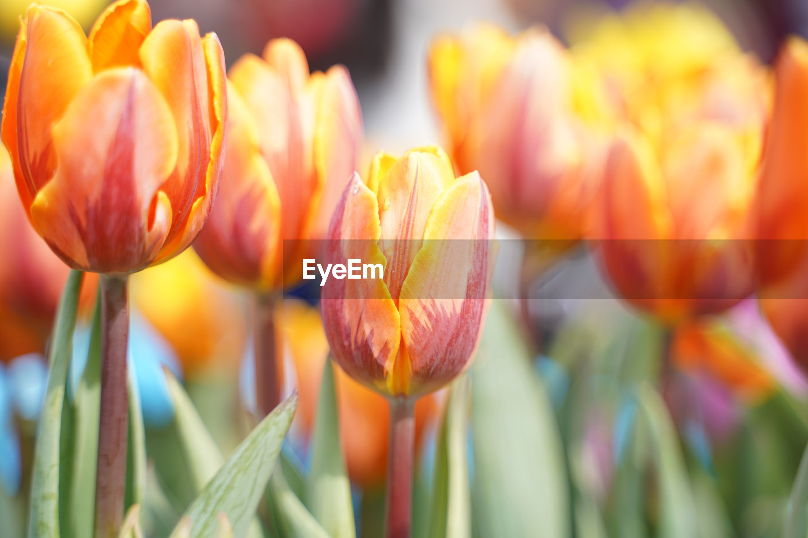 CLOSE-UP OF TULIPS IN BLOOM