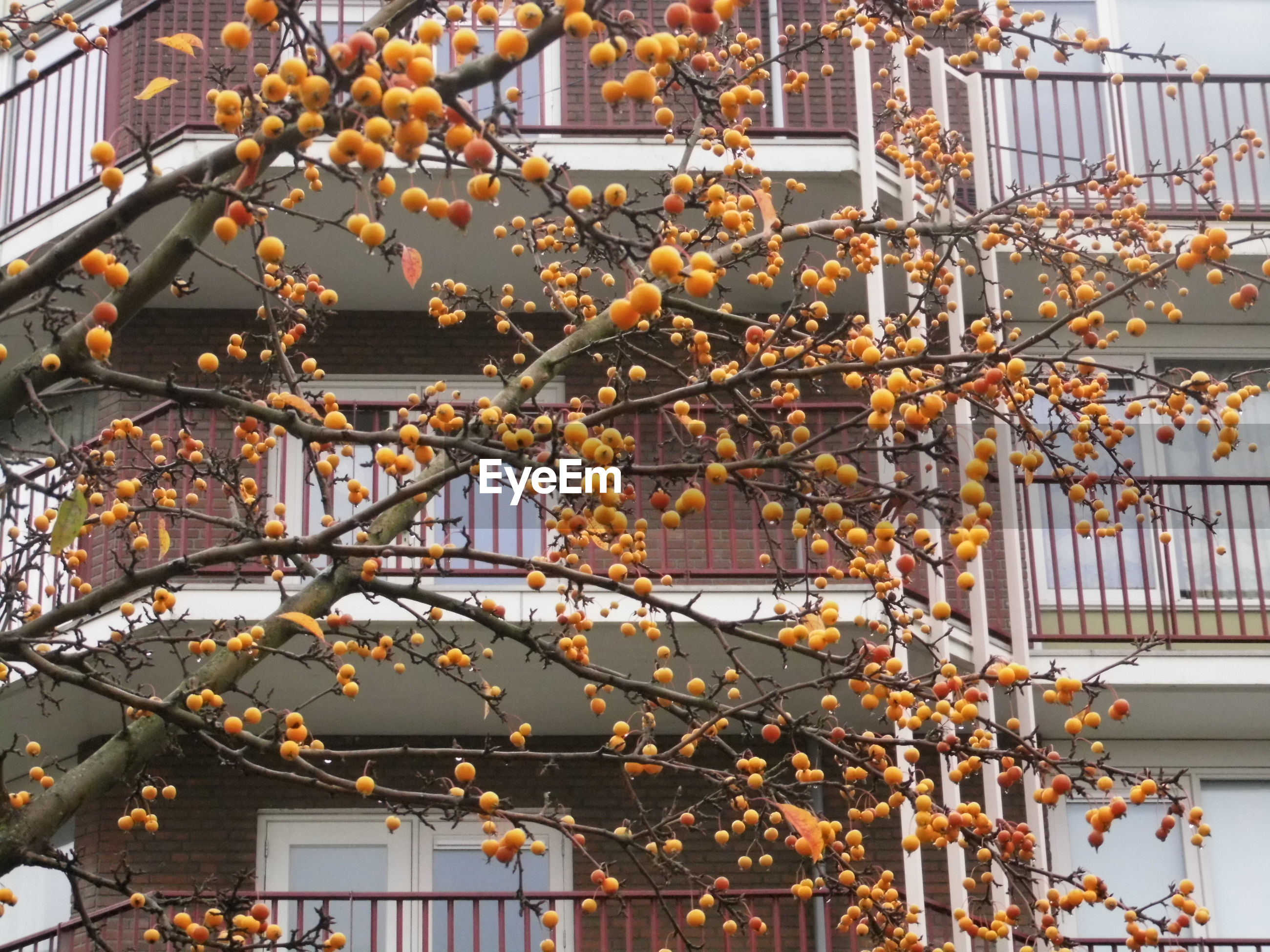 Yellow fruits hanging from branches against building