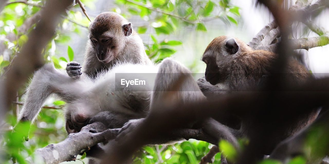 animal wildlife, animals in the wild, animal themes, animal, primate, group of animals, monkey, vertebrate, mammal, tree, selective focus, two animals, plant, day, young animal, nature, branch, no people, low angle view, outdoors, animal family