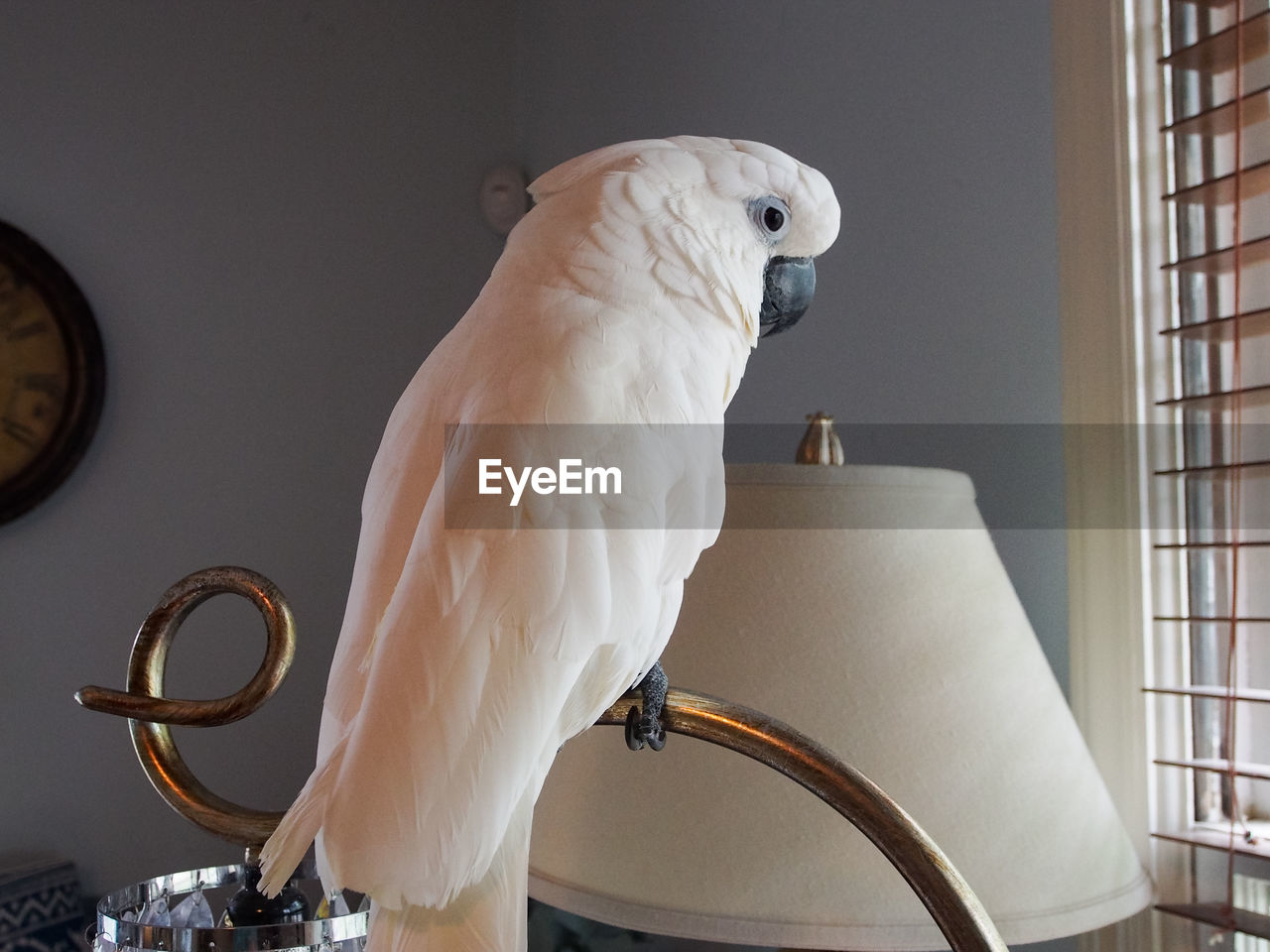 animal, bird, vertebrate, animal themes, one animal, animal wildlife, white color, parrot, perching, no people, indoors, pets, domestic, animals in the wild, close-up, focus on foreground, home interior, domestic animals, day, beak, electric lamp