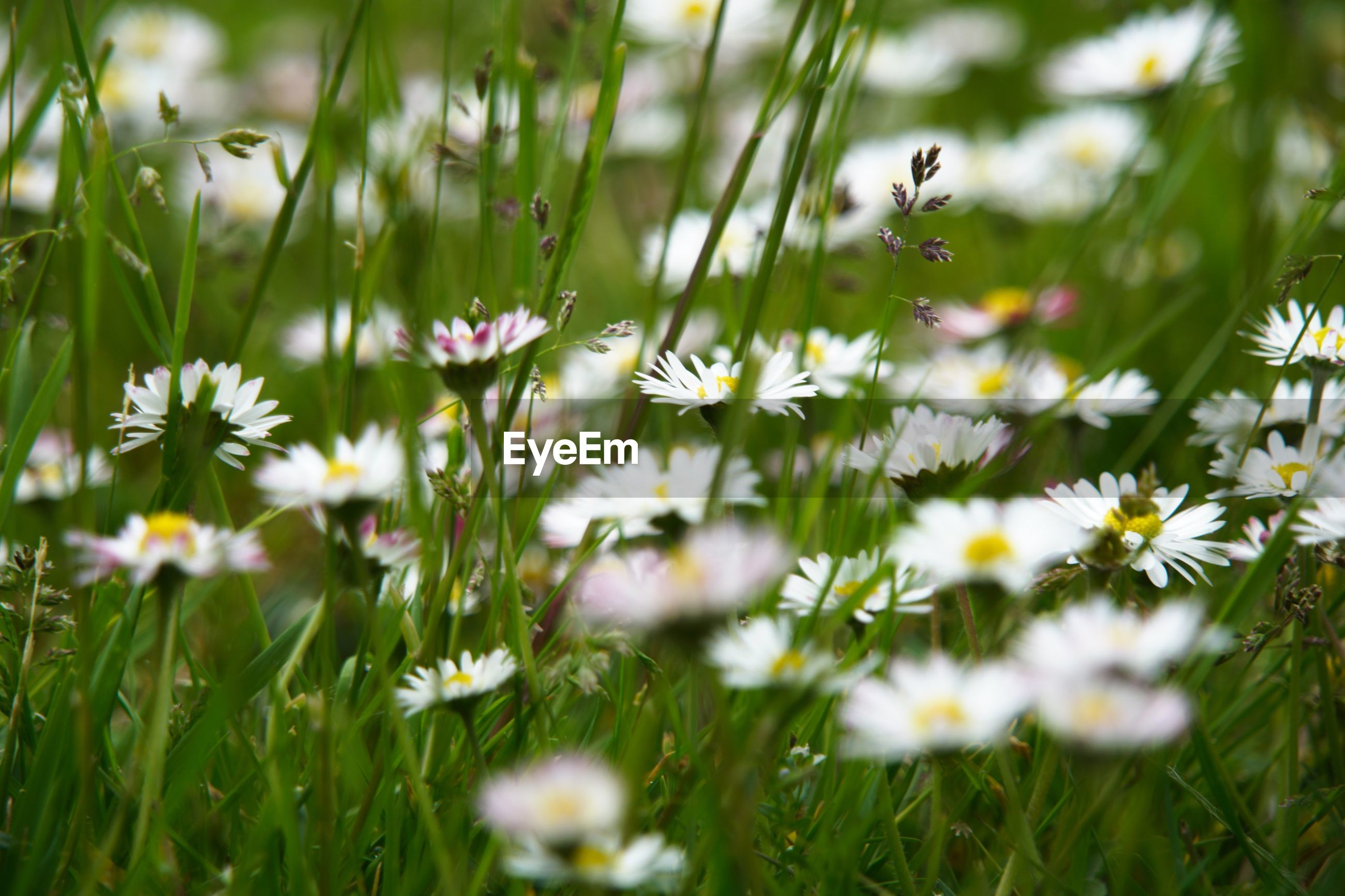 CLOSE-UP OF WHITE DAISIES ON FIELD