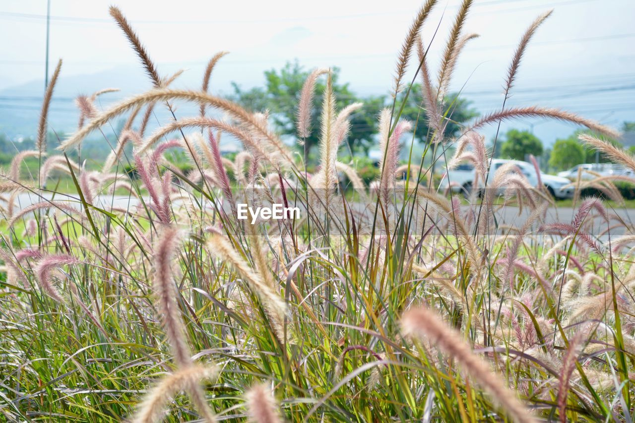 plant, growth, grass, nature, land, sky, tranquility, day, selective focus, field, close-up, beauty in nature, no people, focus on foreground, outdoors, tranquil scene, agriculture, beach, water, environment, marram grass, timothy grass, blade of grass