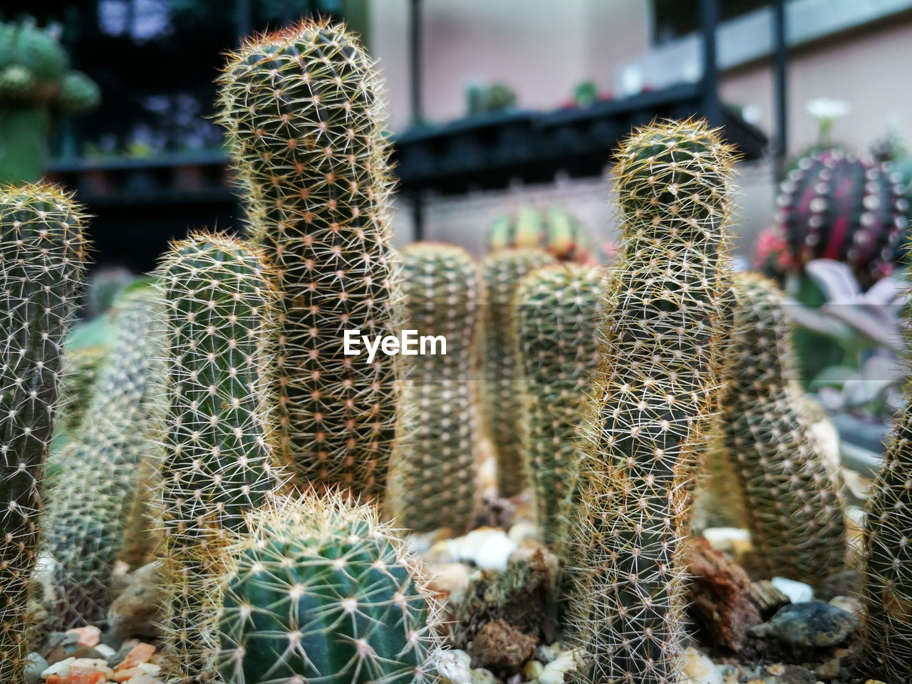 cactus, succulent plant, no people, thorn, plant, growth, focus on foreground, spiked, close-up, nature, sharp, green color, natural pattern, day, beauty in nature, outdoors, barrel cactus, communication, full frame, potted plant, plant nursery, ecosystem