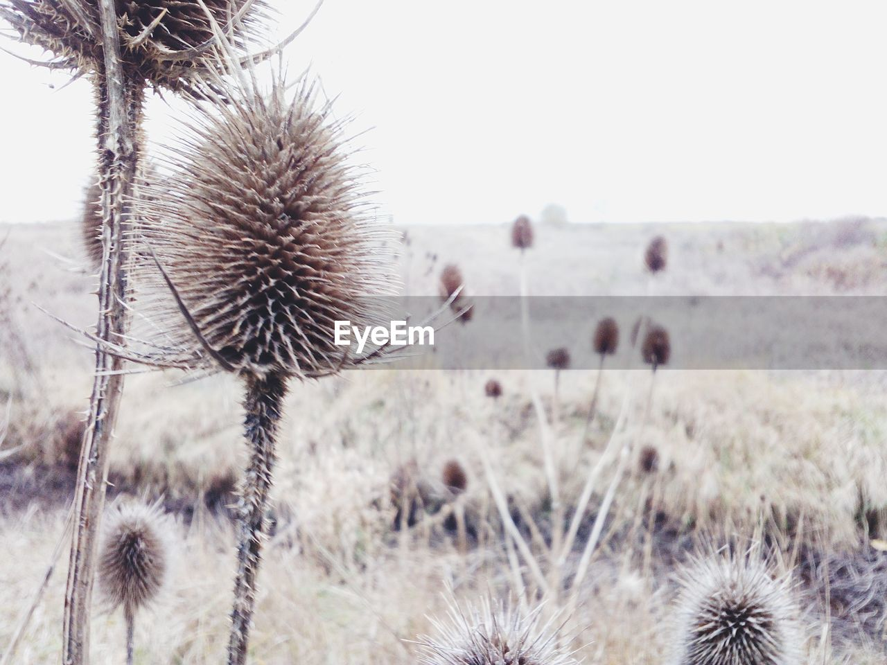 nature, flower, plant, growth, focus on foreground, field, beauty in nature, close-up, thistle, no people, uncultivated, outdoors, tranquility, fragility, day, flower head, sky