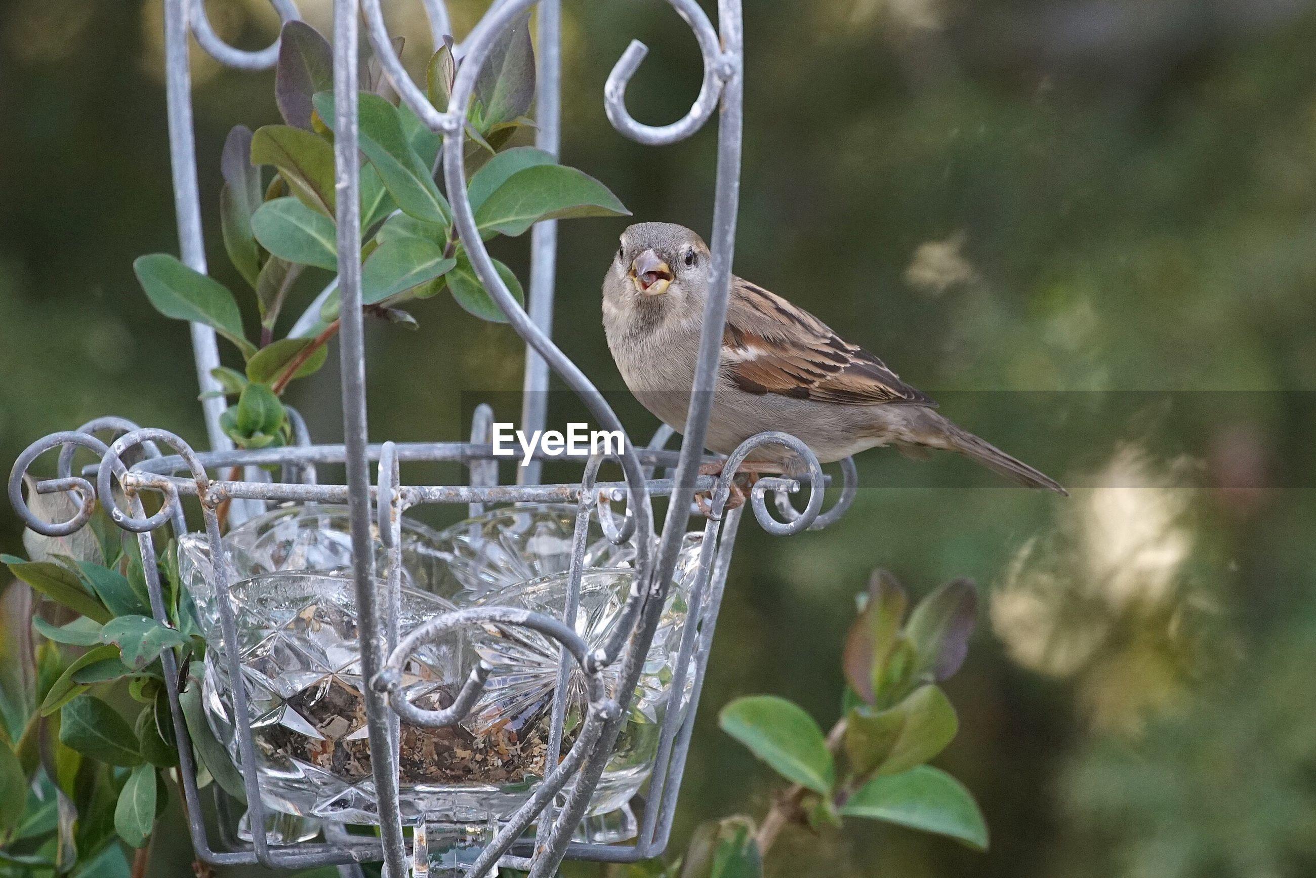 Sparrow perching on bird feeder