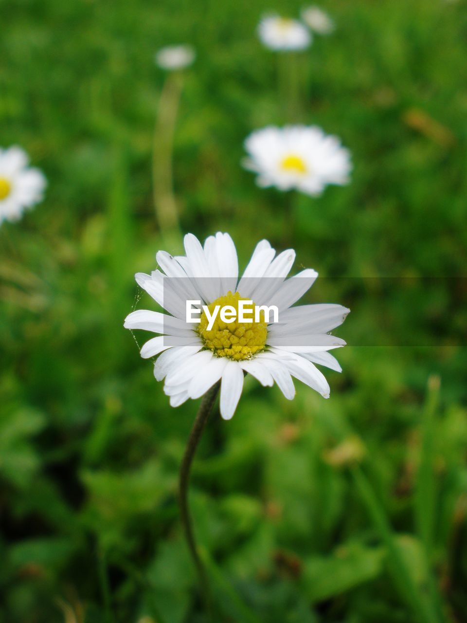 flower, flowering plant, fragility, freshness, plant, vulnerability, petal, beauty in nature, white color, flower head, growth, daisy, close-up, inflorescence, nature, focus on foreground, pollen, day, no people, outdoors