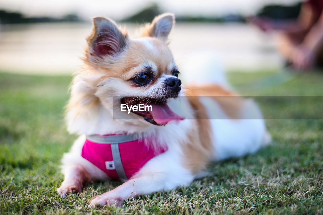dog, canine, animal themes, animal, one animal, mammal, pets, domestic, grass, domestic animals, vertebrate, field, land, plant, looking away, sticking out tongue, looking, day, nature, facial expression, no people, animal tongue, mouth open, pomeranian