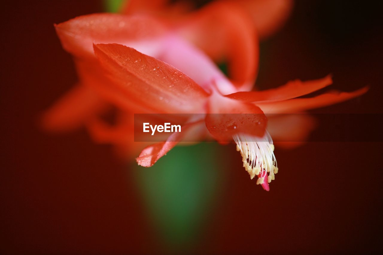 Close-Up Of Water Drop On Red Flower