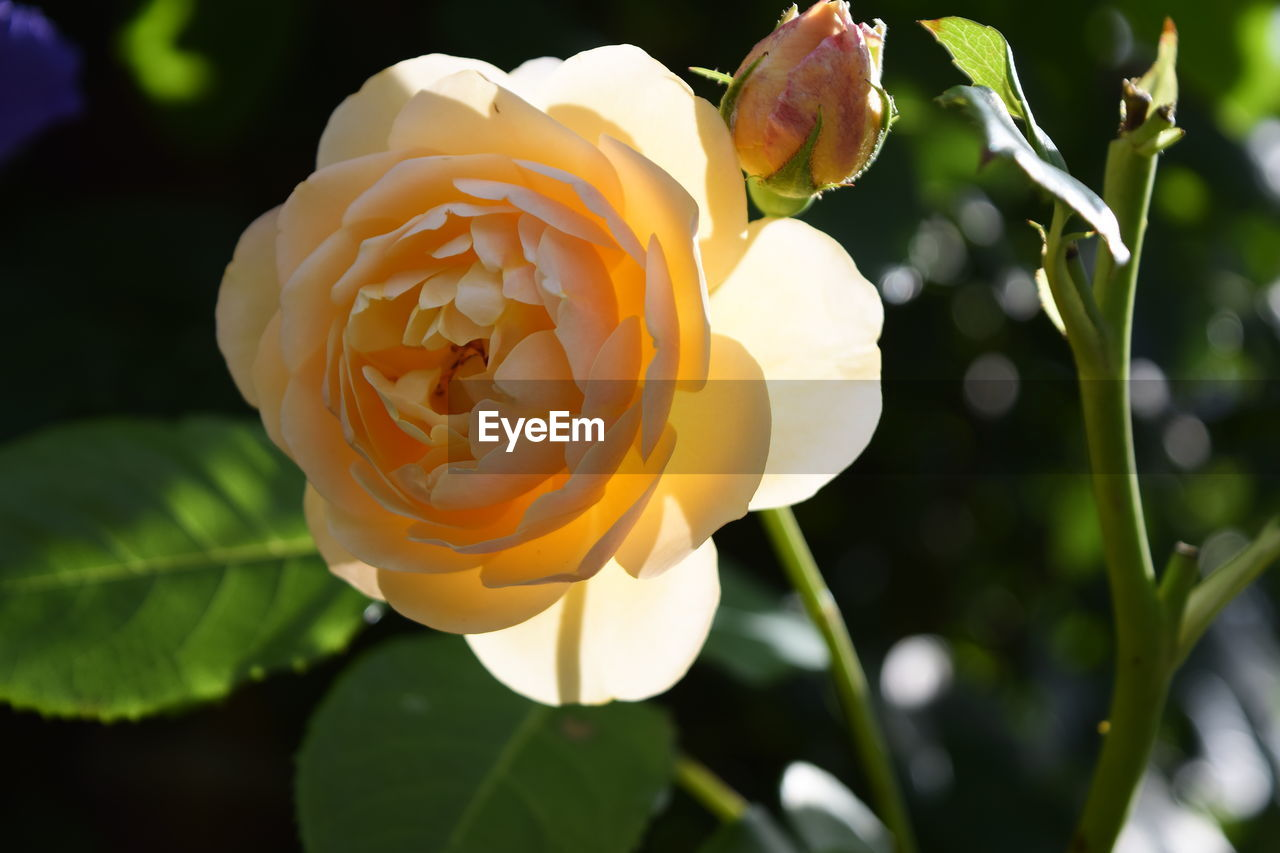 flowering plant, flower, plant, fragility, vulnerability, beauty in nature, petal, freshness, close-up, growth, inflorescence, flower head, nature, focus on foreground, rose, leaf, no people, plant part, rose - flower, day, outdoors
