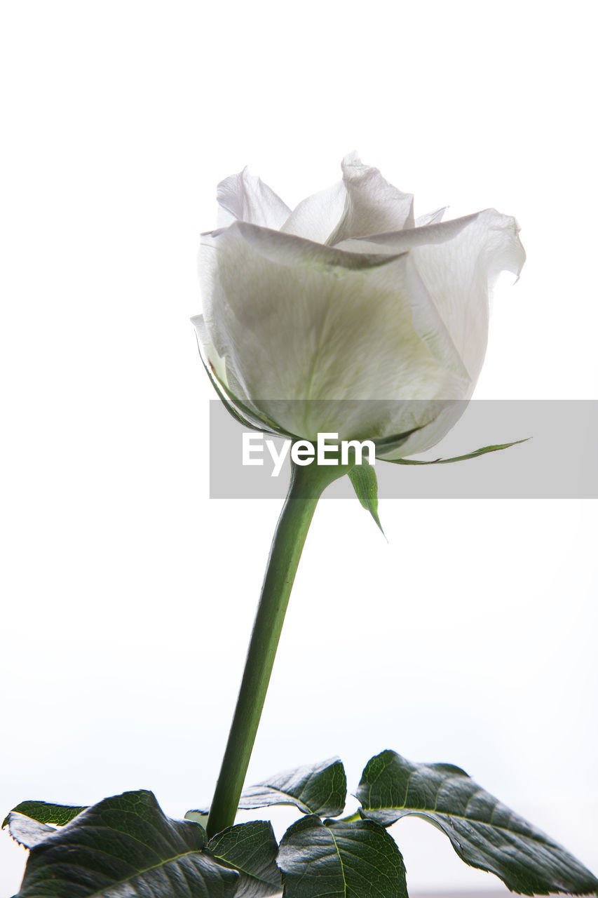 petal, vulnerability, flower, fragility, flowering plant, plant, freshness, beauty in nature, plant part, leaf, close-up, nature, flower head, growth, inflorescence, studio shot, rose, no people, plant stem, white background, outdoors, sepal