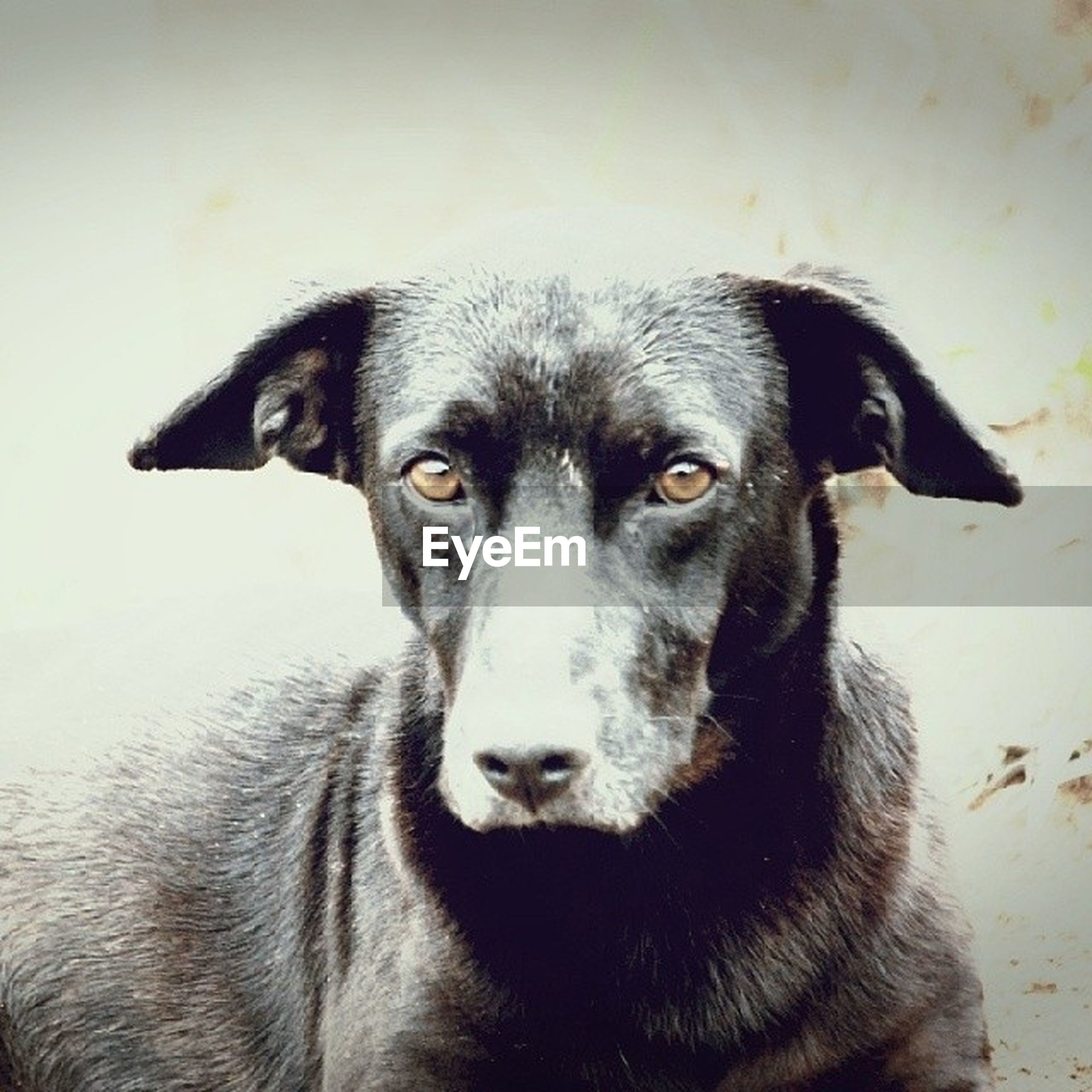 animal themes, one animal, mammal, dog, pets, domestic animals, portrait, looking at camera, animal head, close-up, animal body part, black color, focus on foreground, no people, indoors, snout, zoology, front view, animal