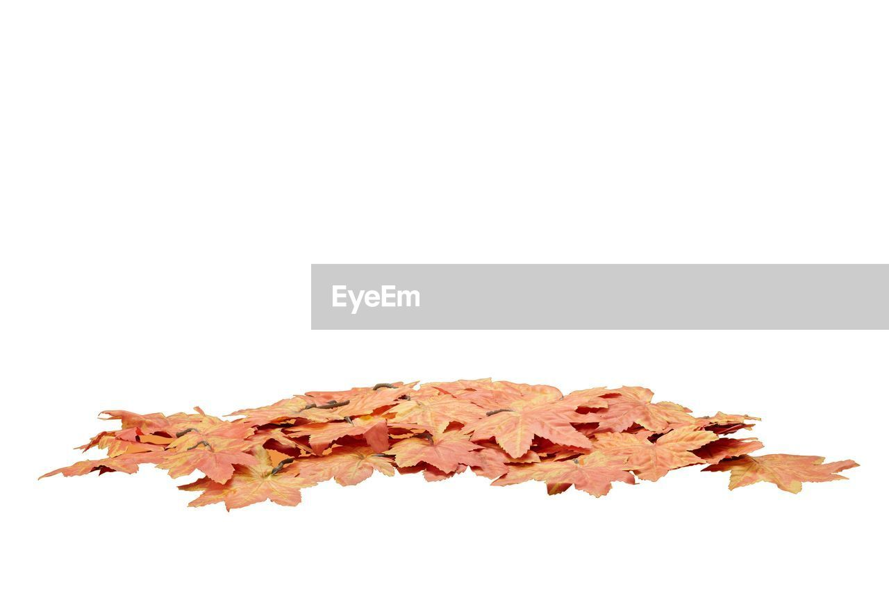 white background, autumn, studio shot, change, copy space, leaf, no people, close-up, fragility, pencil shavings, maple, nature, day