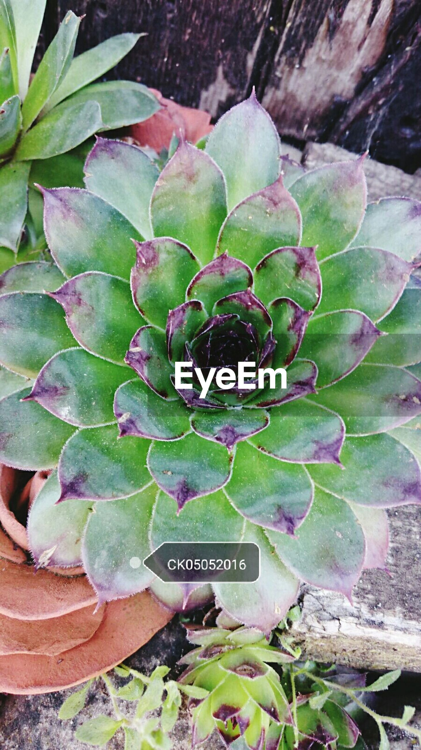 growth, leaf, plant, green color, nature, beauty in nature, close-up, freshness, flower, high angle view, fragility, cactus, natural pattern, outdoors, day, no people, green, succulent plant, focus on foreground, purple