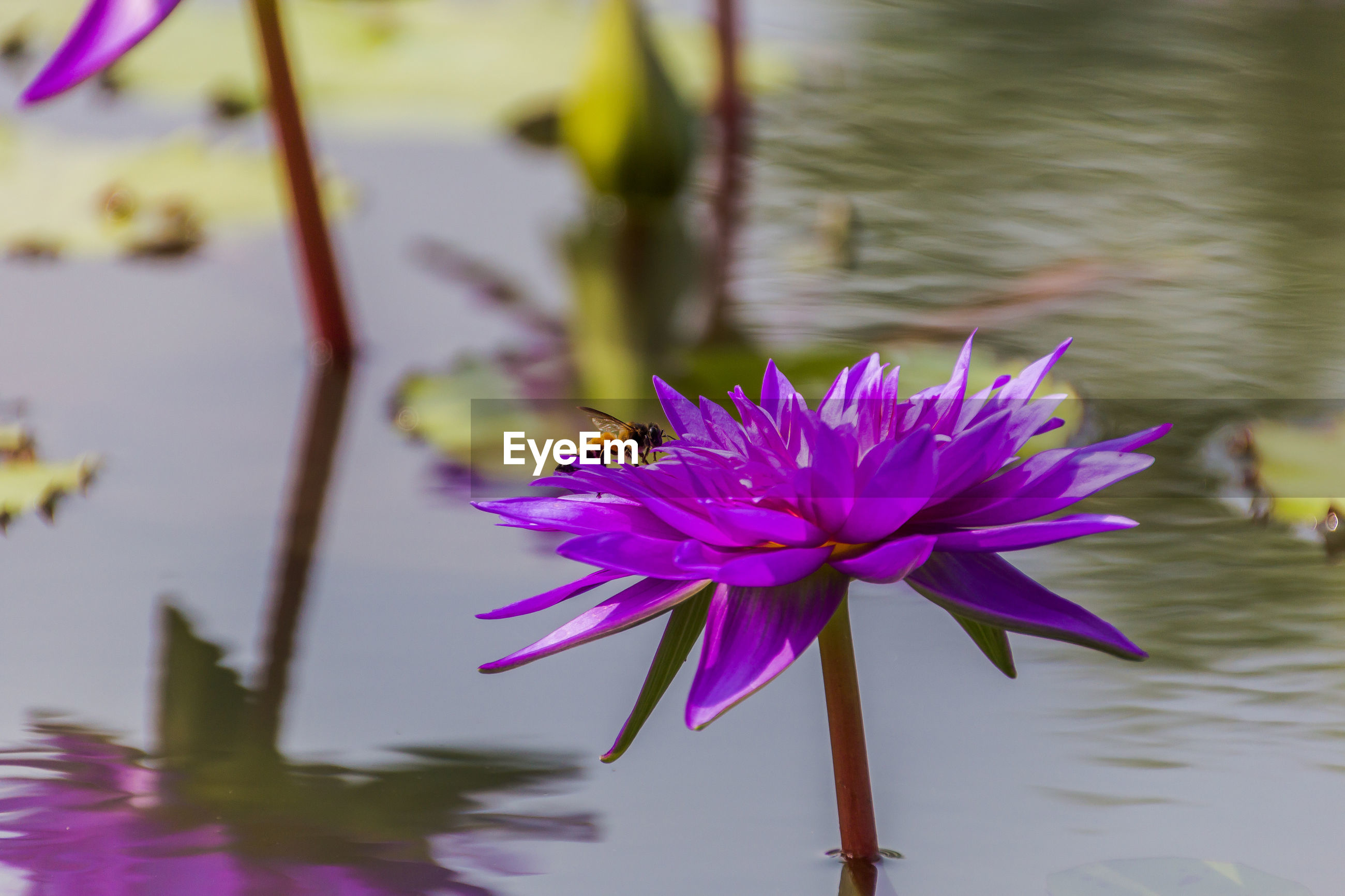 Insect pollinating on purple flower in pond