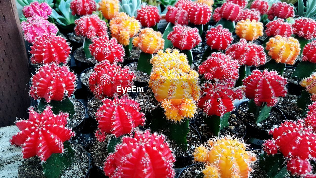 Close-Up Of Cactus Flowers