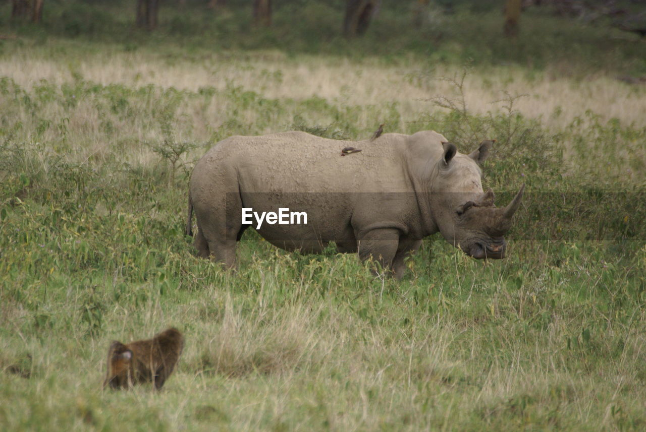 grass, animal themes, mammal, field, animals in the wild, nature, no people, one animal, animal wildlife, outdoors, young animal, day, safari animals