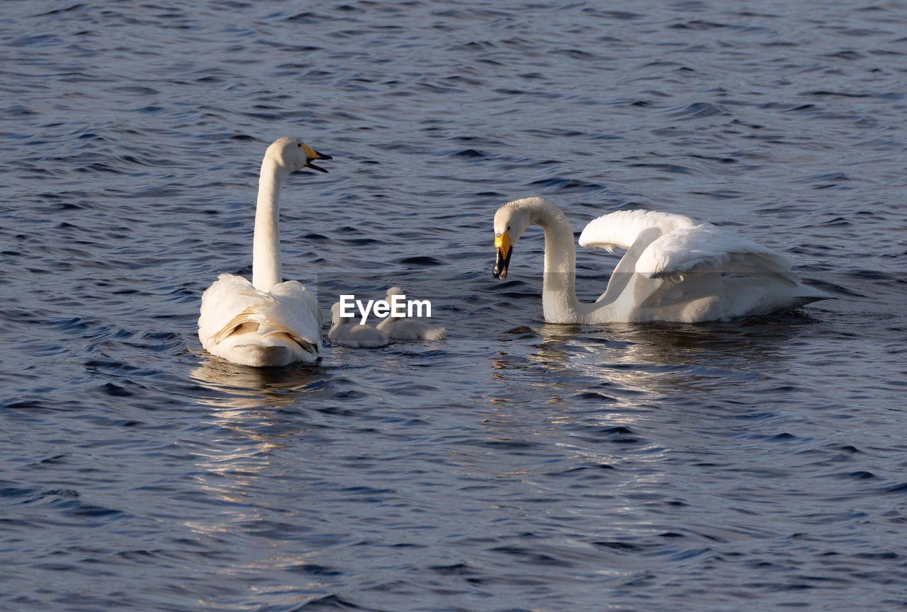 High Angle View Of Tundra Swan With Cygnets Swimming On Lake