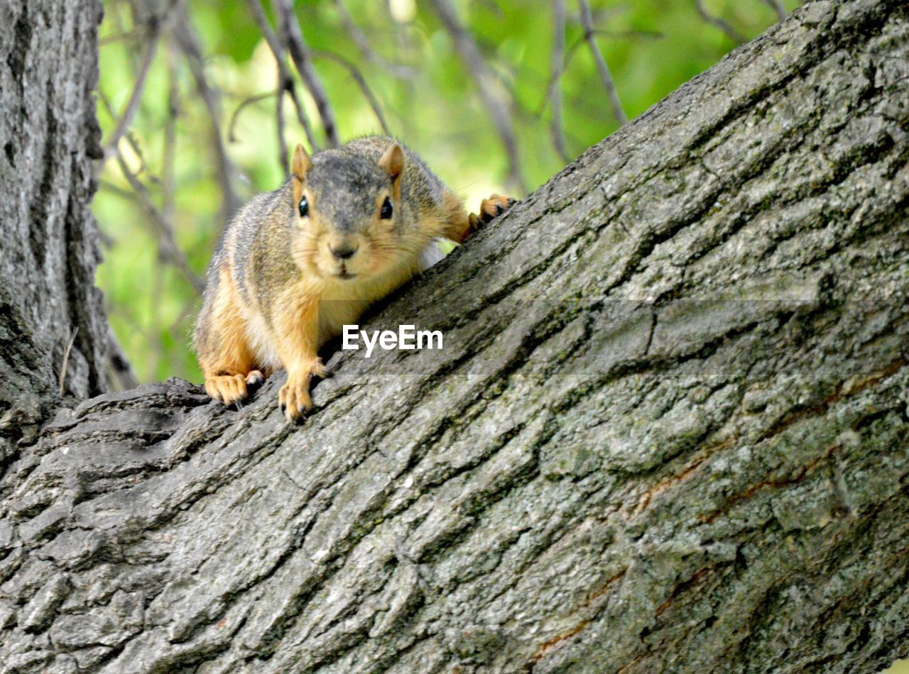 animal, animal wildlife, animal themes, one animal, animals in the wild, mammal, tree, rodent, trunk, tree trunk, squirrel, no people, plant, day, close-up, vertebrate, nature, focus on foreground, outdoors, textured, whisker