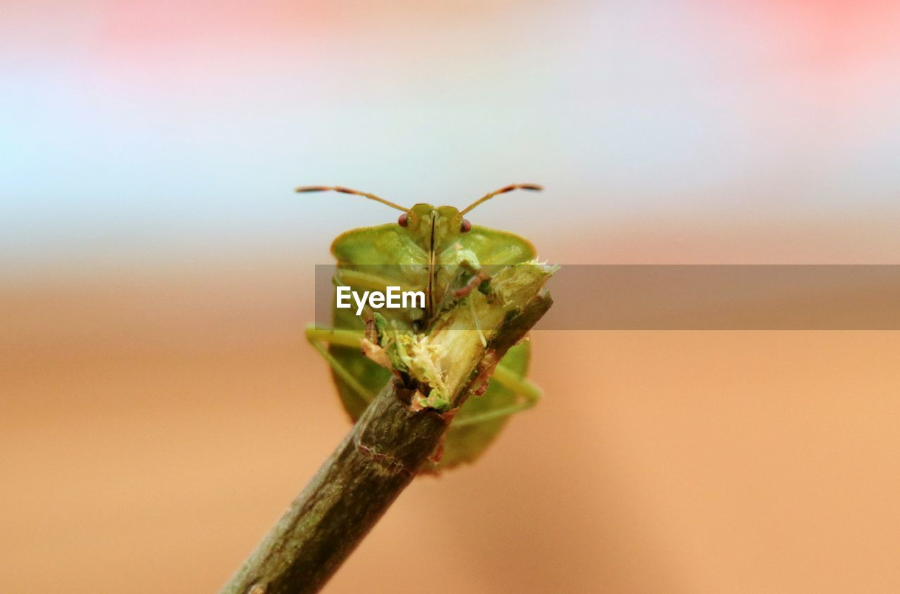 animal wildlife, invertebrate, animal themes, animals in the wild, insect, animal, one animal, close-up, no people, plant, green color, focus on foreground, nature, day, animal body part, outdoors, praying mantis, beauty in nature, animal antenna, plant stem