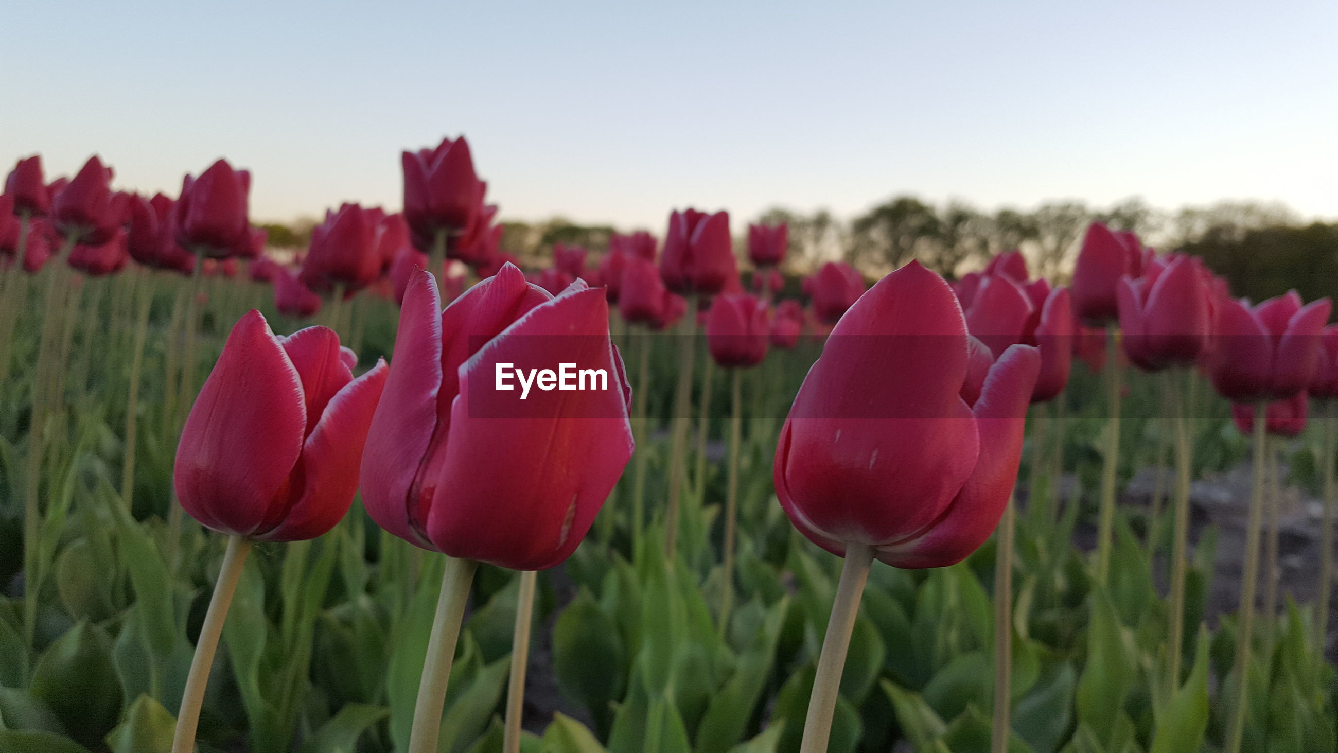 CLOSE-UP OF RED TULIPS GROWING ON FIELD