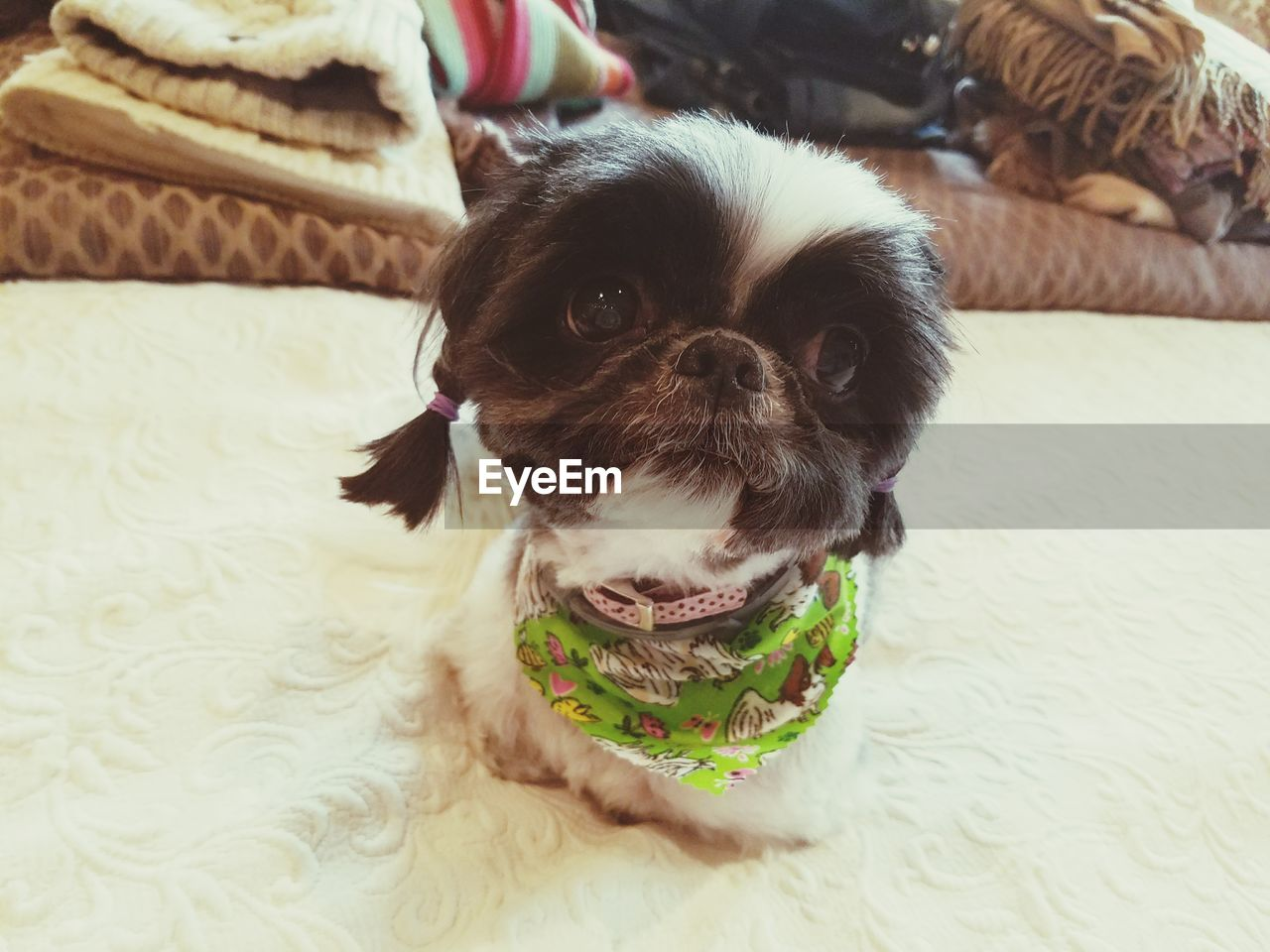 pets, domestic, one animal, canine, dog, domestic animals, mammal, animal, animal themes, vertebrate, indoors, home interior, portrait, no people, looking at camera, furniture, lap dog, close-up, small, focus on foreground, shih tzu, animal head