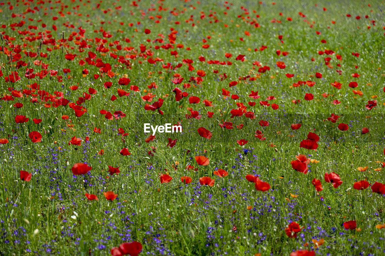 flower, flowering plant, plant, red, freshness, growth, beauty in nature, poppy, food and drink, land, nature, food, healthy eating, fruit, field, day, no people, meadow, abundance, environment, outdoors, flowerbed, ripe, flower head