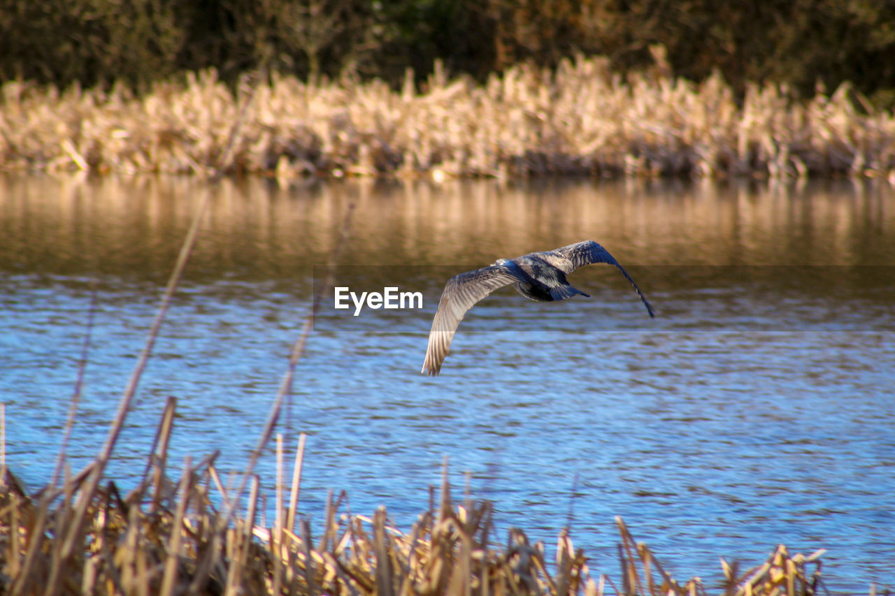 vertebrate, animal themes, animal, animals in the wild, one animal, bird, animal wildlife, water, lake, spread wings, flying, mid-air, no people, nature, day, heron, water bird, beauty in nature, outdoors