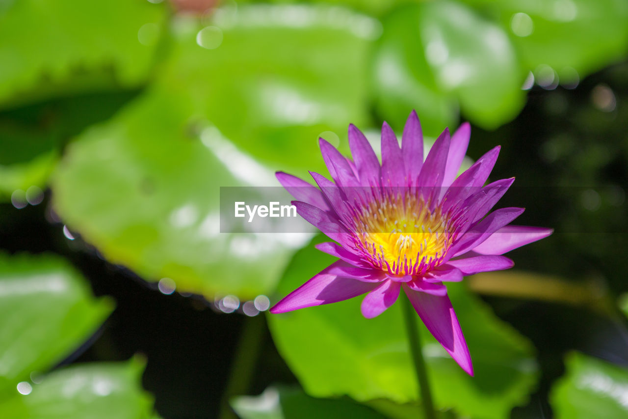 flower, flowering plant, plant, freshness, fragility, beauty in nature, vulnerability, petal, growth, close-up, inflorescence, flower head, nature, focus on foreground, purple, pink color, water, day, green color, water lily, no people, outdoors, pollen, lotus water lily