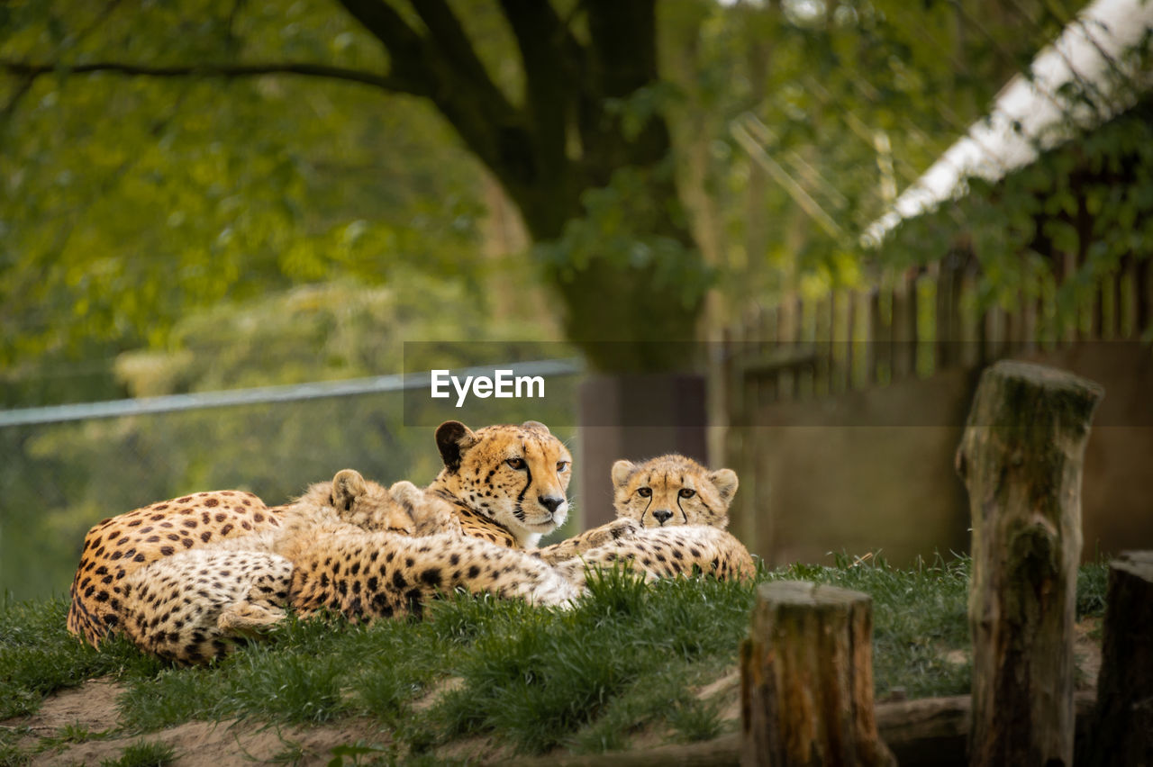 animal, tree, mammal, animal wildlife, animal themes, plant, feline, big cat, group of animals, animals in the wild, no people, vertebrate, nature, day, relaxation, cat, zoo, two animals, animals in captivity, outdoors, cheetah