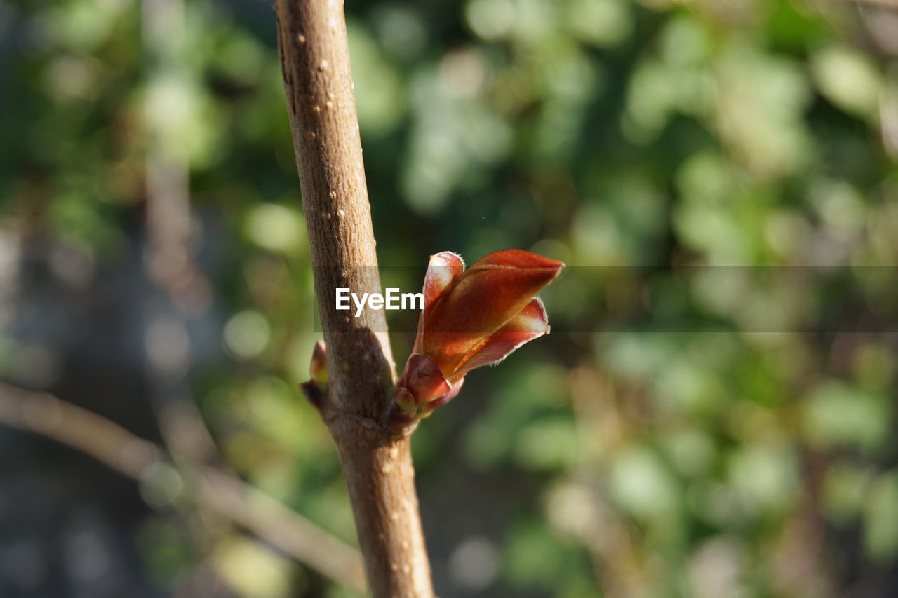 plant, focus on foreground, growth, beauty in nature, close-up, tree, nature, no people, day, beginnings, flower, flowering plant, red, vulnerability, outdoors, fragility, branch, orange color, freshness, bud, spring