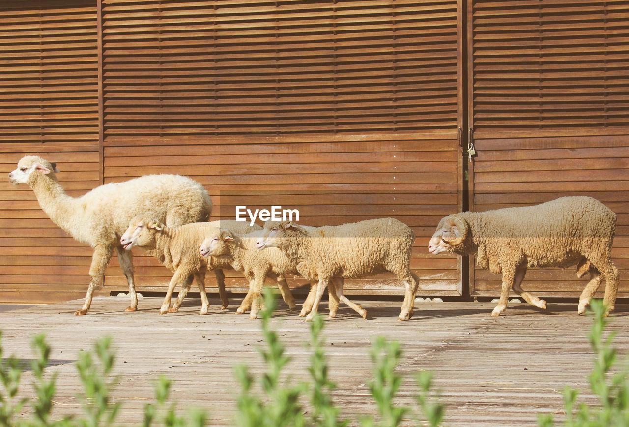 Alpaca And Sheep Walking Against Wall