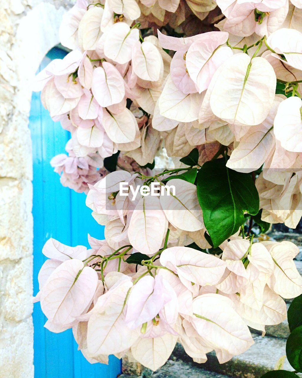 flower, fragility, petal, nature, beauty in nature, freshness, outdoors, close-up, no people, hydrangea, flower head, day, plant, leaf