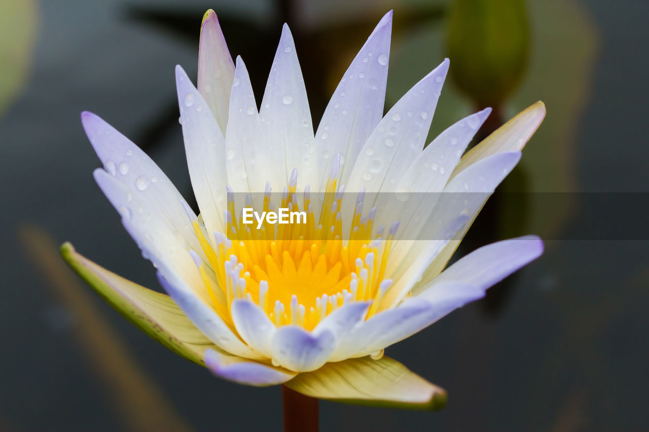 flowering plant, vulnerability, fragility, flower, petal, beauty in nature, freshness, flower head, growth, inflorescence, plant, close-up, water, pollen, nature, focus on foreground, no people, drop, purple, raindrop