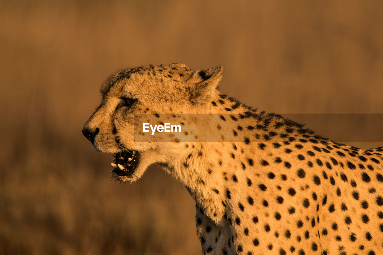 animal, animal wildlife, animal themes, animals in the wild, one animal, mammal, big cat, feline, focus on foreground, no people, cheetah, cat, vertebrate, looking away, spotted, looking, side view, close-up, carnivora, animal head, profile view, undomesticated cat, whisker, mouth open, aggression